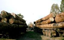 Gia Lai: phạt hàng trăm xe chở gỗ quá khổ quá tải