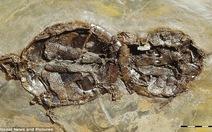 Tìm thấy nhiều hóa thạch rùa trong tư thế giao phối