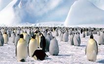 Băng tan đe dọa chim cánh cụt hoàng đế