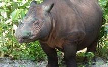 Tê giác quý hiếm chào đời tại Indonesia