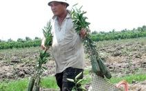 ĐBSCL: lại bỏ lúa trồng cam