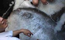 Tặng cá mặt trăng 120kg cho bảo tàng