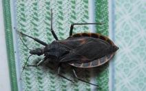 Bình Định: lại bắt được bọ xít hút máu người