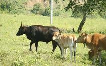 Hơn 1 tỉ đồng cứu bò tót lai ở Ninh Thuận