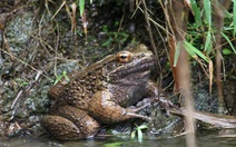 """Loài ếch """"dị nhân"""" dùng móng vuốt ôm bạn tình"""