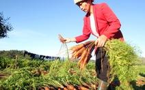 Đà Lạt có cà rốt đạt chuẩn