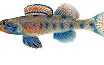 Loài cá mới mang tên Obama