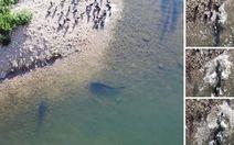 Hiện tượng kỳ thú: cá trê lên bờ đớp bồ câu