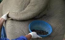 """Cà phê """"phân voi"""" đắt nhất thế giới"""