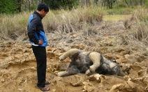 Xót xa voi con chết trong vườn quốc gia Yok Đôn