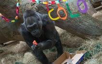 Khỉ đột già nhất thế giới mừng sinh nhật thứ 56