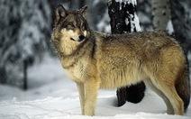 Nga: ban bố tình trạng khẩn cấp vì… sói