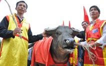 Chọi thắng, trâu bị xẻ thịt bán 1-2 triệu đồng/kg