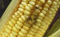 Đức phát hiện chất độc trong thức ăn gia súc