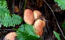 Nấm thông - quà tặng của rừng