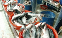 Thuế cá tra vào Mỹ tăng hơn 25 lần: Cơ hội tăng giá cá