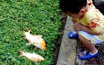 """Cá """"diễu hành"""" từng đàn ở kênh Nhiêu Lộc - Thị Nghè"""