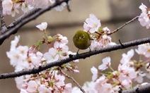 Nhật: hoa anh đào nở rộ