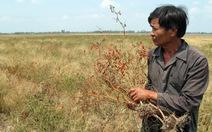 Trắng tay do trồng giống ớt mới