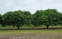 Làm giàu trên đất Úc bằng cây trái