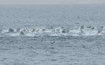 """Xem video hơn 500 cá heo """"chạy trốn"""" cá voi sát thủ"""