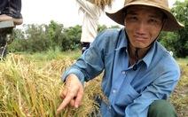 Nông dân khổ vì lúa ngã đổ, lên mộng