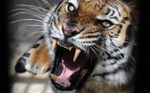 Lão ông mất mạng khi cho hổ ăn