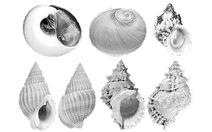 Nhận mặt ốc biển độc