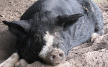 Dịch sốt heo châu Phi đe dọa ngành xuất khẩu thịt heo Nga