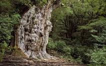 Khám phá rừng nguyên sinh ngàn năm ở Yakushima