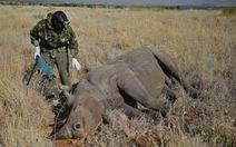 Kenya gắn chip cho tê giác để chống săn trộm