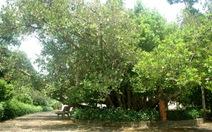 Bạch mai, trôm mõ được công nhận là cây di sản Việt Nam