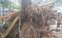 Nhiều cây xanh Hà Nội bị ngã đổ