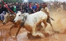 Tái hiện hội đua bò Bảy Núi tại Hà Nội