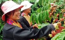 Cà phê Việt bung hàng trước tết khiến giá thế giới giảm