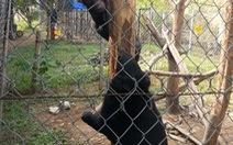Đề nghị chuyển hai con gấu ngựa đến Trung tâm cứu hộ gấu VN
