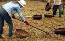 """Giá cà phê tăng vì nông dân """"ém"""" hàng trước tết"""