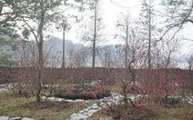 Đào khoe sắc bên hồ Hoàn Kiếm