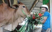 Đổ bỏ hoa layơn cho bò ăn
