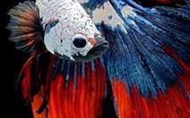 Vũ điệu rực rỡ của loài cá lia thia