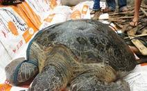 Rùa biển 80kg mắc kẹt trên phá Tam Giang
