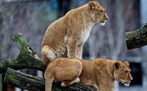 Vườn thú Đan Mạch giết 4 con sư tử