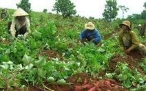 Đã ngăn chặn thương nhân Trung Quốc mua lá khoai lang