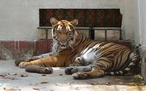 Thêm một hổ mẹ tại Thảo Cầm Viên Sài Gòn sinh con