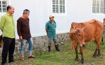 Nghề chăn bò... sống dậy mạnh mẽ