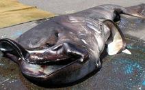 Nhật Bản: bắt được cá mập miệng to quý hiếm