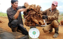 Đào trúng khoai mỡ 50kg, chia cả làng ăn... lấy hên!