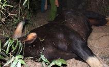 Bò tót húc người ở Quảng Nam: Bò tót đã chết