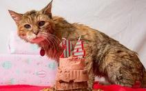 24 tuổi, chú mèo già nhất thế giới qua đời