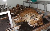 Quẳng hai con hổ Đông Dương xuống đường để chạy trốn